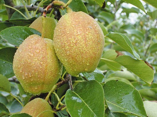 新疆巴音布魯克水果有哪些?